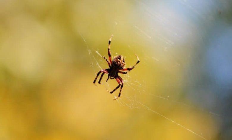 العنكبوت في المنام