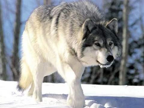الذئب في المنام